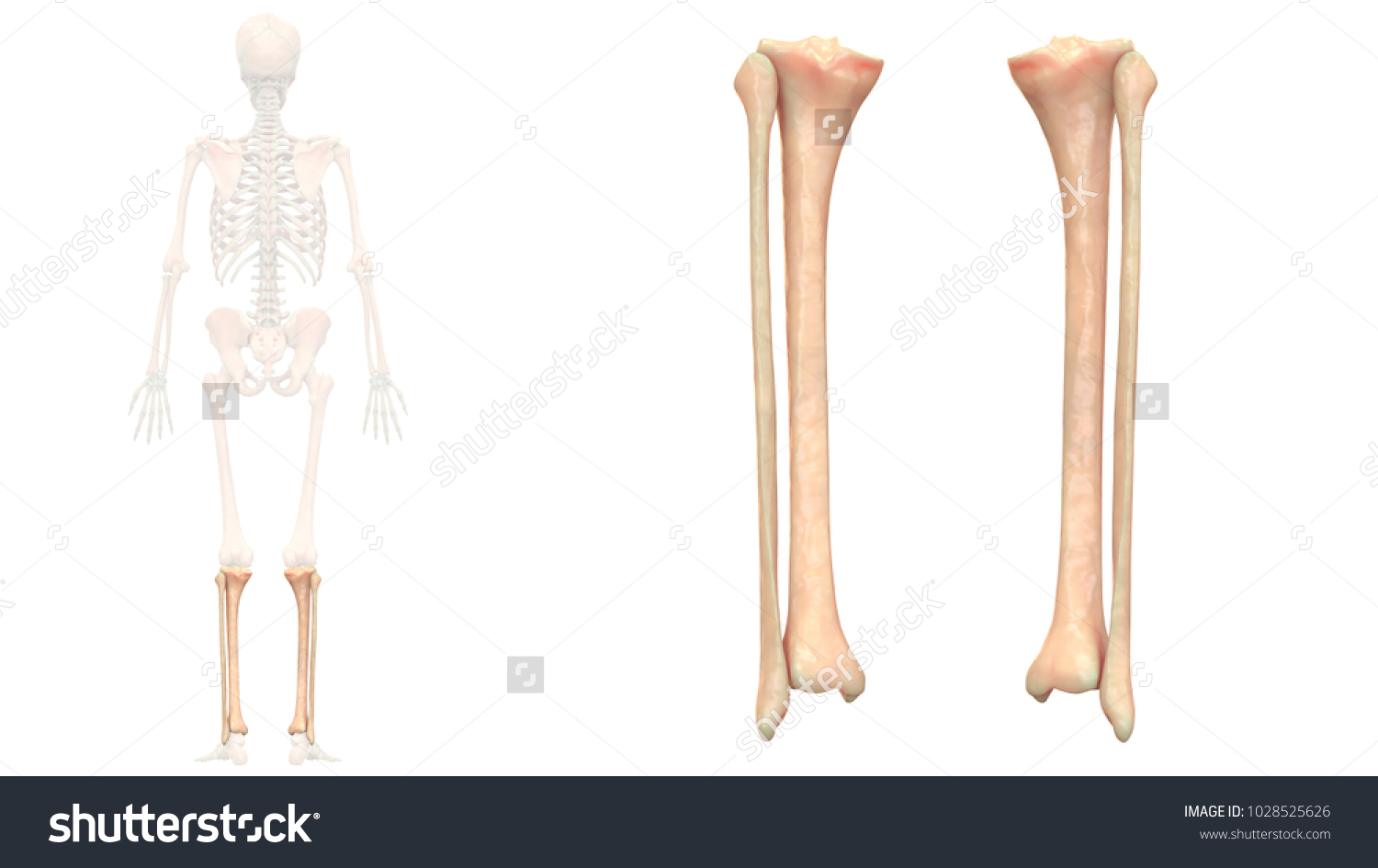 Human Skeleton System Bones Tibia Fibula Stock Illustration ...