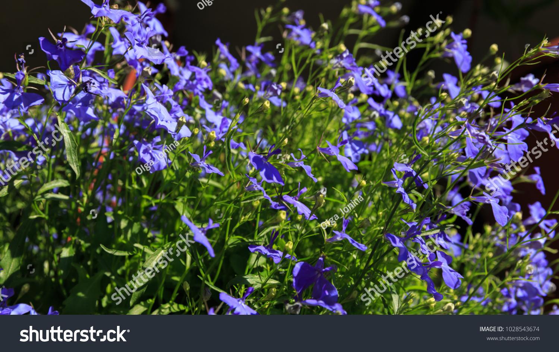Blue trailing lobelia sapphire flowers edging stock photo edit now blue trailing lobelia sapphire flowers or edging lobelia garden lobelia latin name is lobelia izmirmasajfo