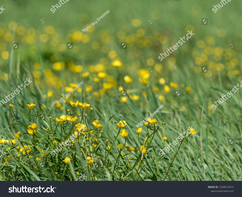 Many Yellow Flowers Ranunculus Repens Ez Canvas