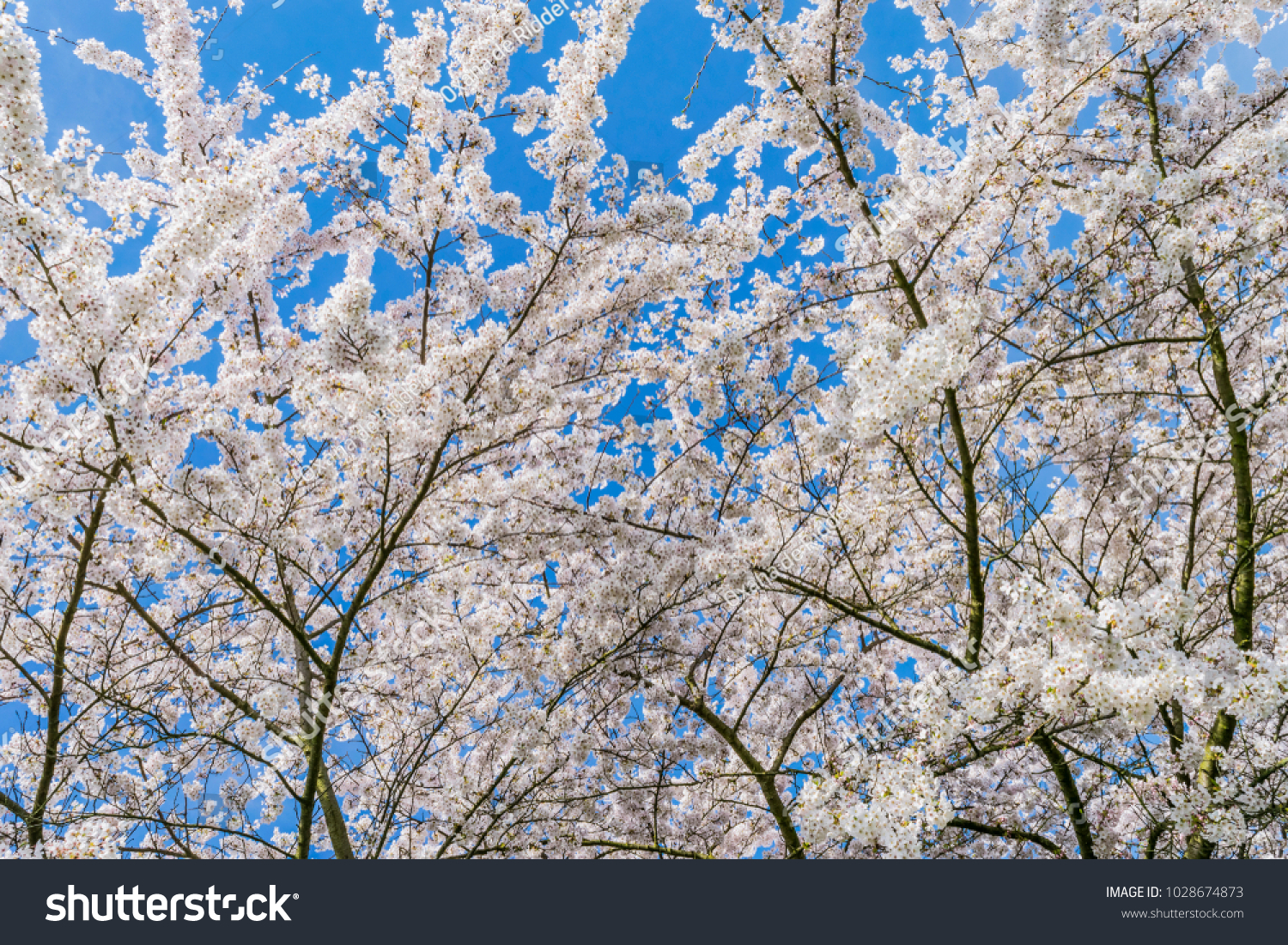 Cherry Blossom In The Spring White Flowers Of Fruit Trees Against A