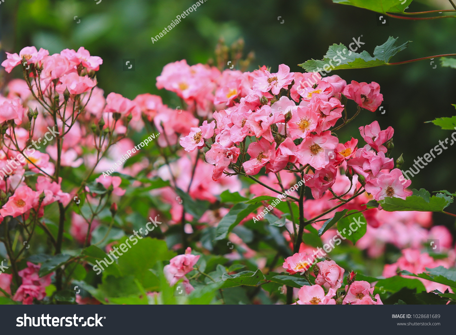 Flowering Bushes Of Wild Pink Roses After Rain With Water Drops