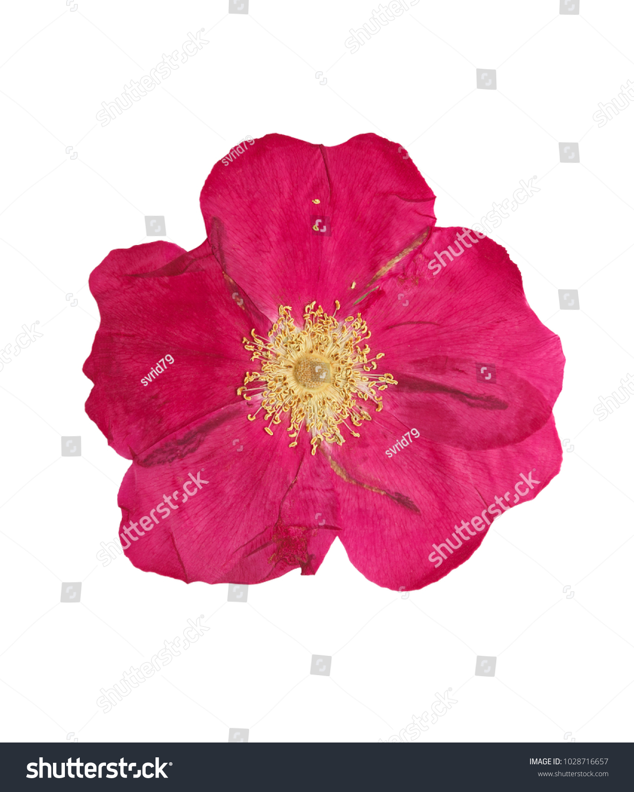 Pressed Dried Pink Delicate Transparent Flower Stock Photo (Edit Now ...