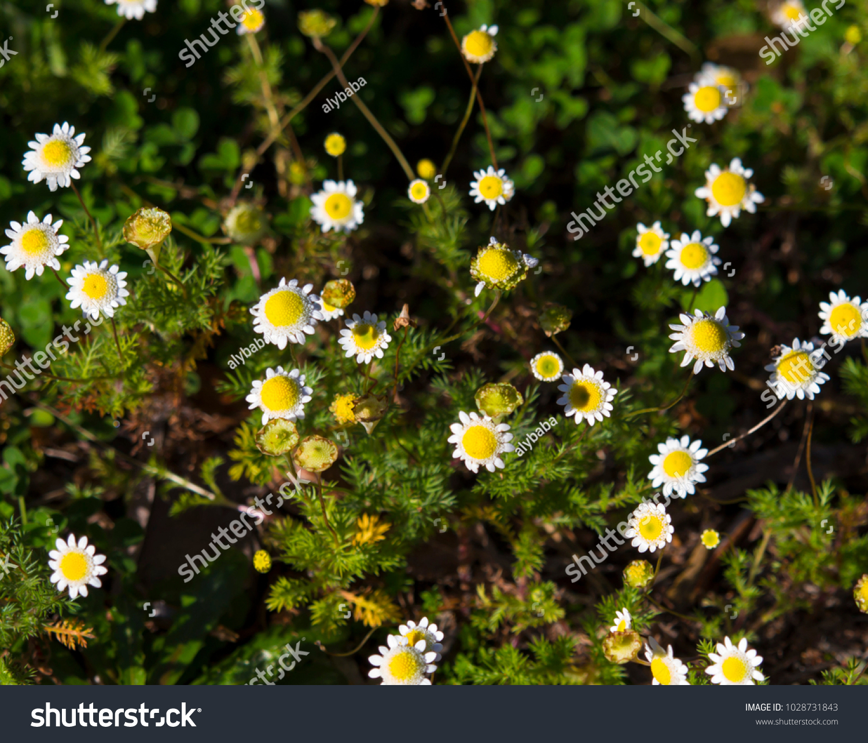 Tiny Cotula Turbinata Funnel Weed Flowers Stock Photo Royalty Free