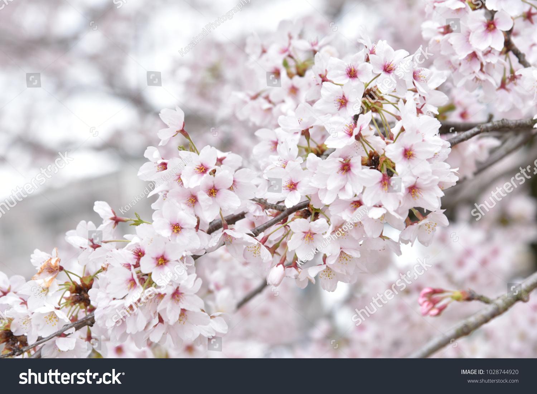 Sakura Flower Full Bloom Spring Season Stock Photo Edit Now