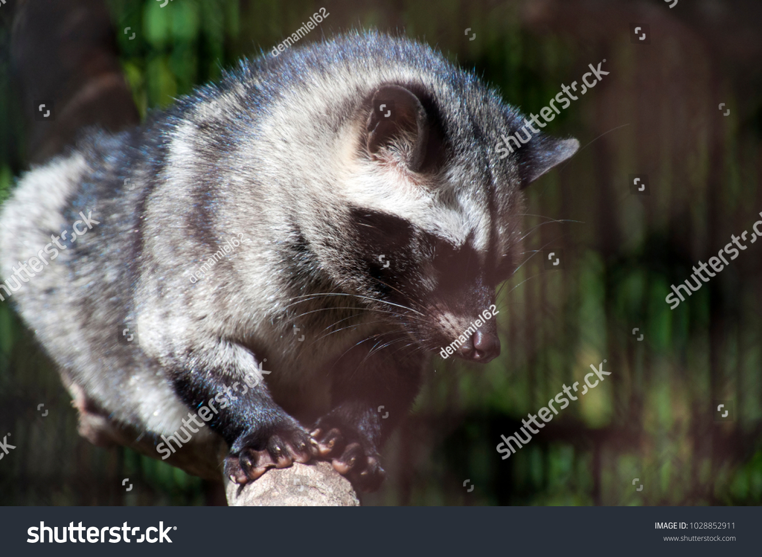 Siem Reap Cambodia, asian palm civet walking on branch