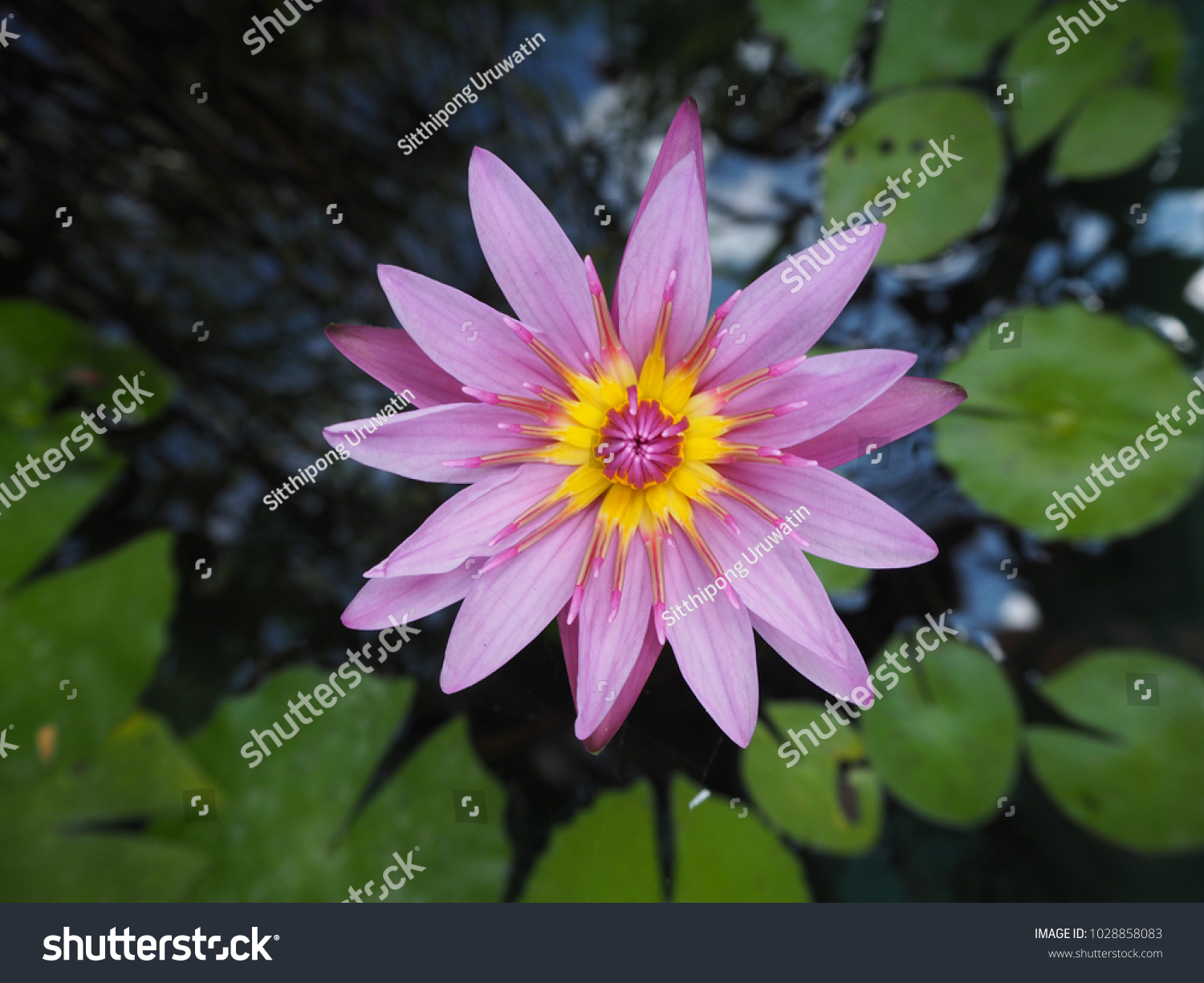 Purple Flower Of Water Lily With Yellow Center Floating On The Water