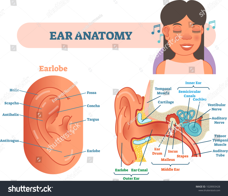 Ear Anatomy Medical Vector Illustration Outer Stock Vector (Royalty ...