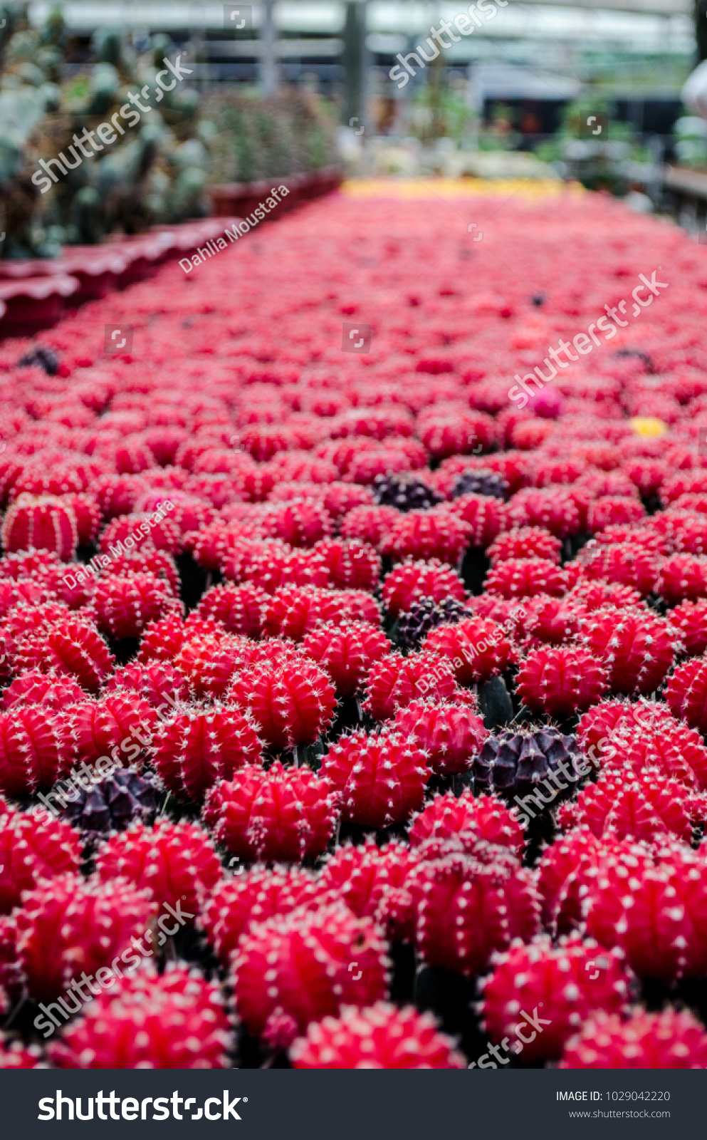 Many small cactus in different shapes between different colors red id 1029042220 mightylinksfo