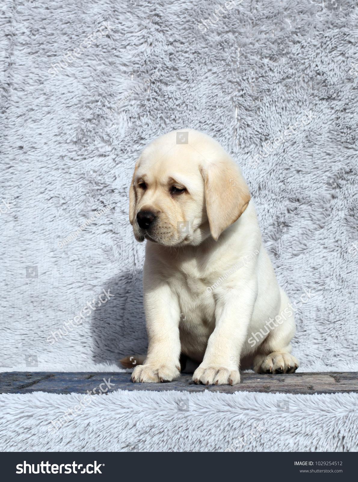 Little Yellow Labrador Puppy Sitting On Stock Photo Edit Now 1029254512