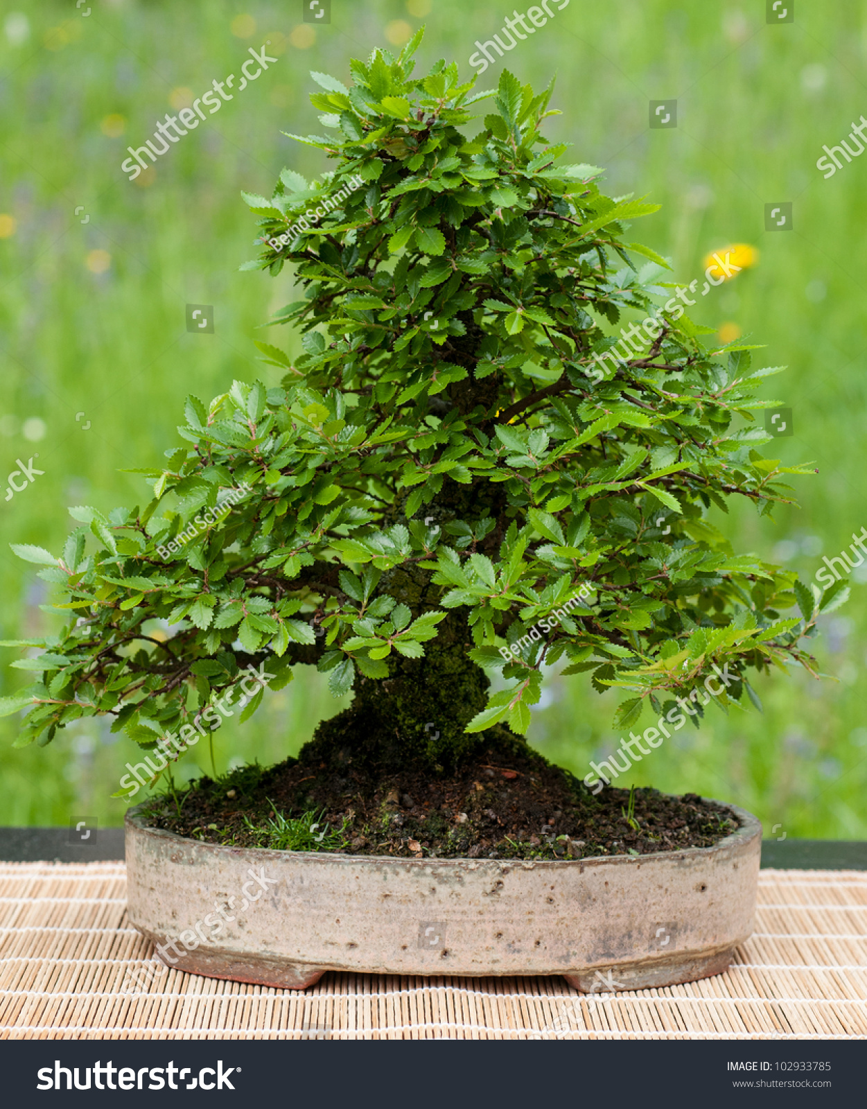 little chinese elm ulmus parvifolia as bonsai tree preview save to a lightbox chinese elm bonsai tree