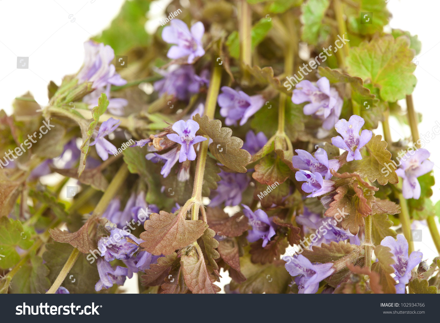 Glechoma Hederacea Creeping Charlie Catsfoot Wild