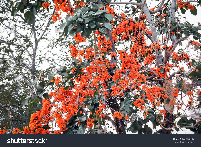 Fresh beautiful flower nature beautiful orange flowers stock photo fresh beautiful flower in naturebeautiful orange flowers blooming bastard teak butea monosperma izmirmasajfo