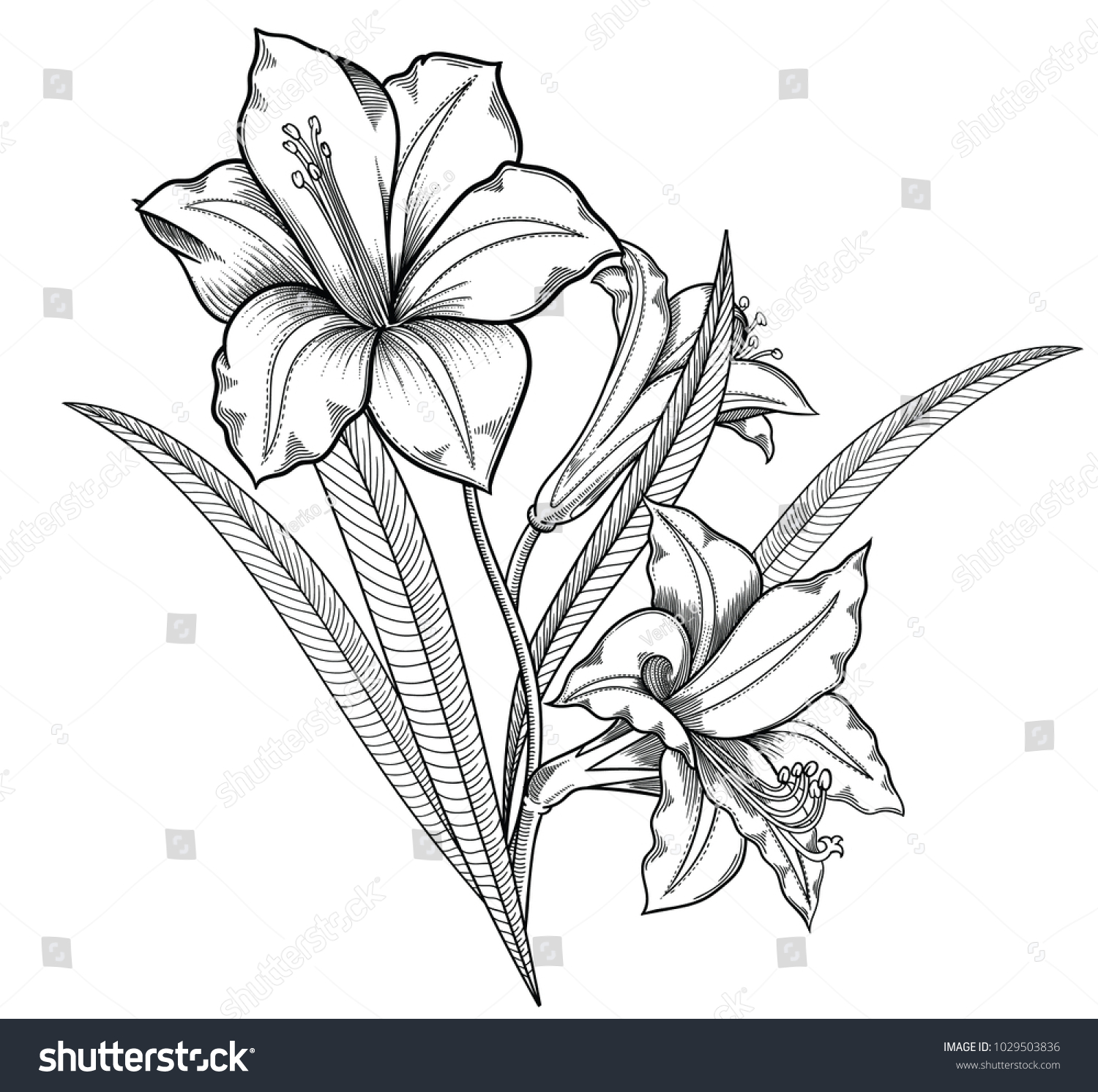 Blooming lily flowers detailed hand drawn vector illustration id 1029503836 izmirmasajfo