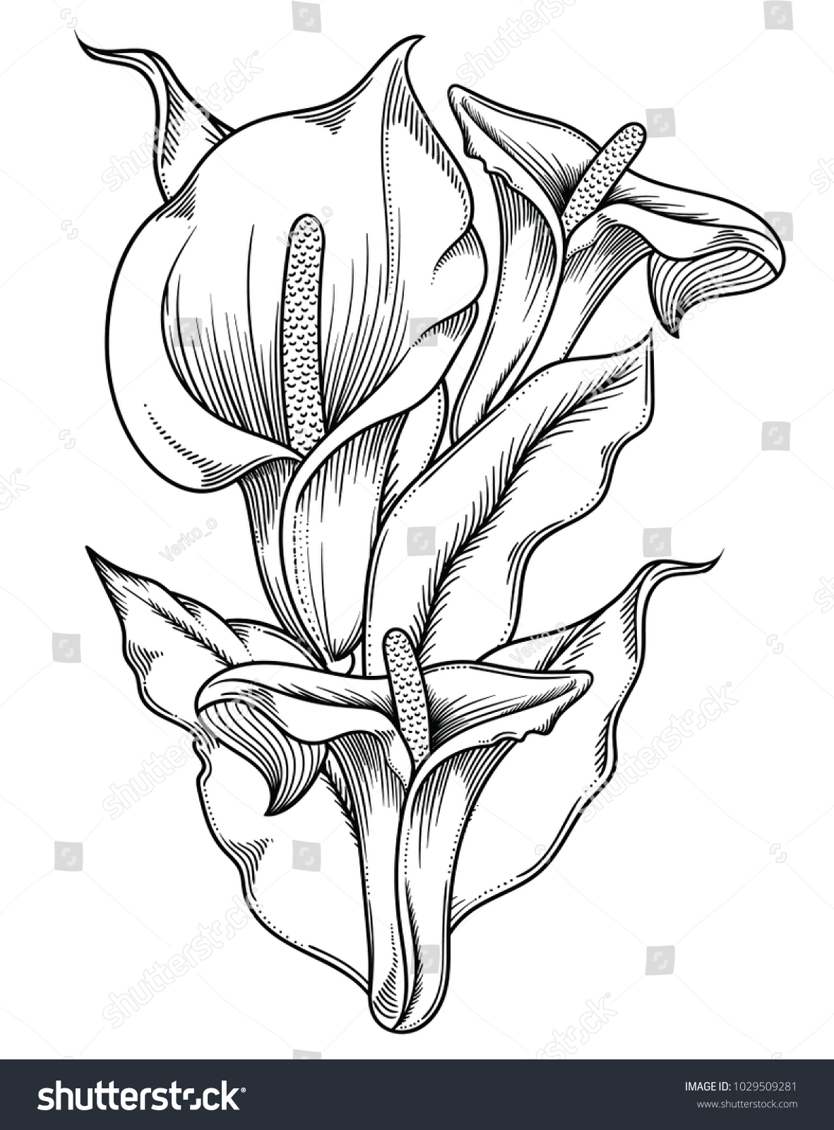 Hand Drawn Black White Blooming Callas Stock Vector Royalty Free