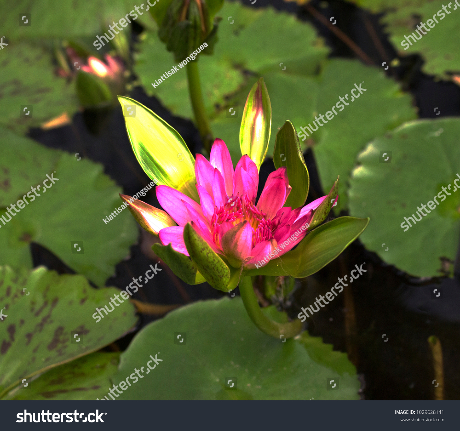 Lotus Beautiful Flower Charms Many Colors Stock Photo Edit Now