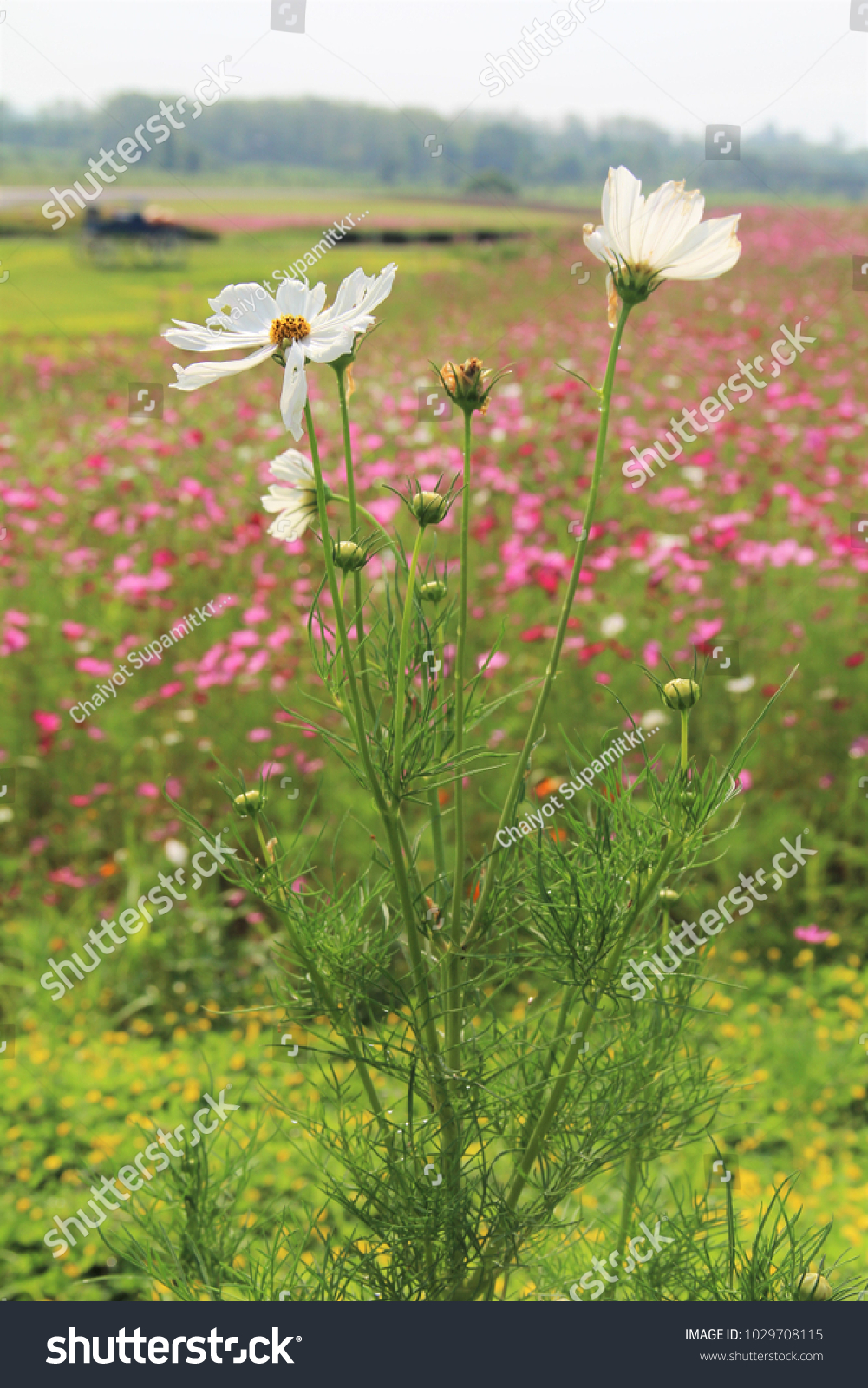 White Cutter Flowers Field Pink Flowers Stock Photo Image Royalty