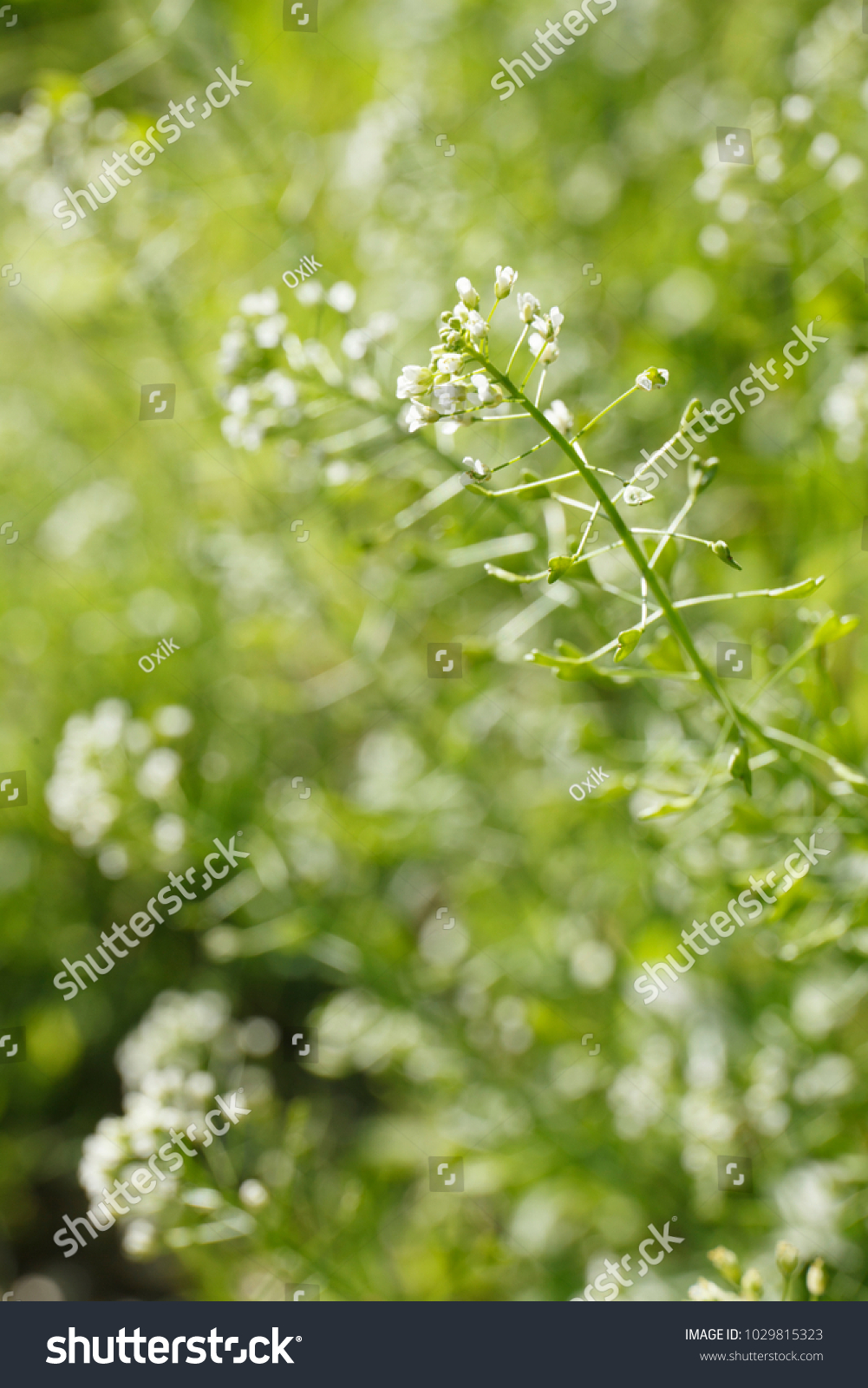 Green White Flower Weed Grass Shepherds Stock Photo Royalty Free