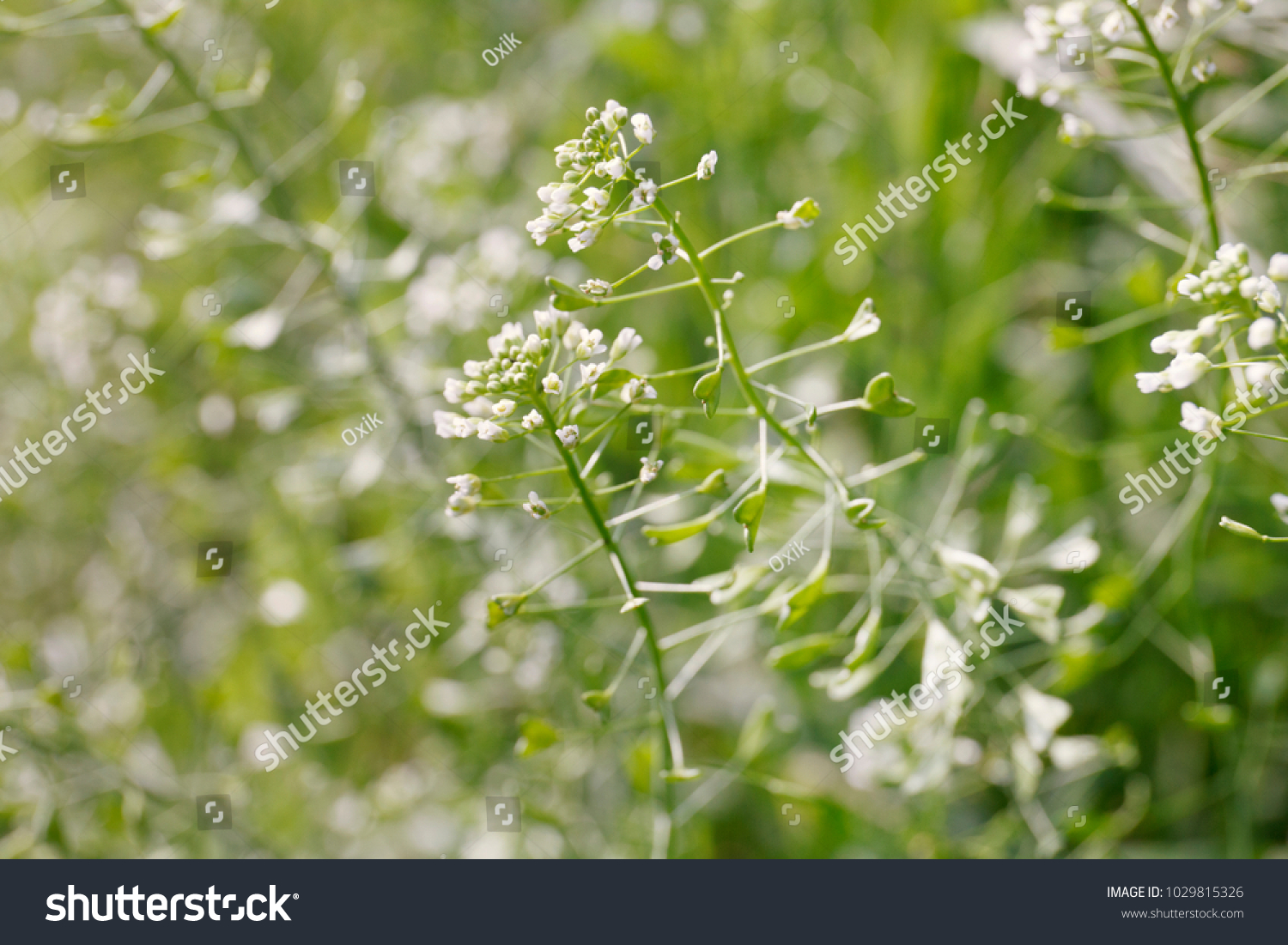 Green White Flower Weed Grass Shepherds Stock Photo Edit Now