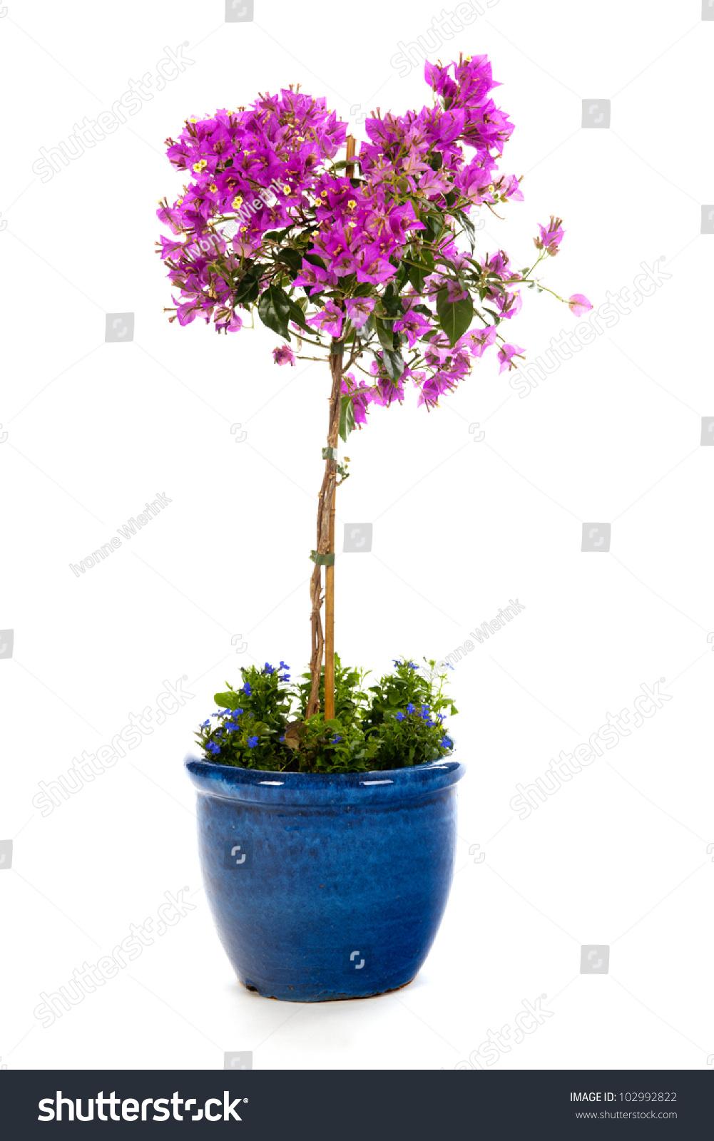 Purple Bougainvillea In Blue Flower Pot With Lobelia ...