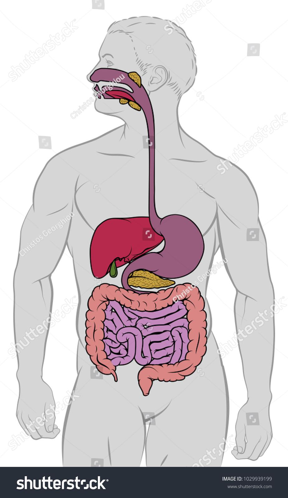 Human Anatomy Digestive System Gut Gastrointestinal Stock ...