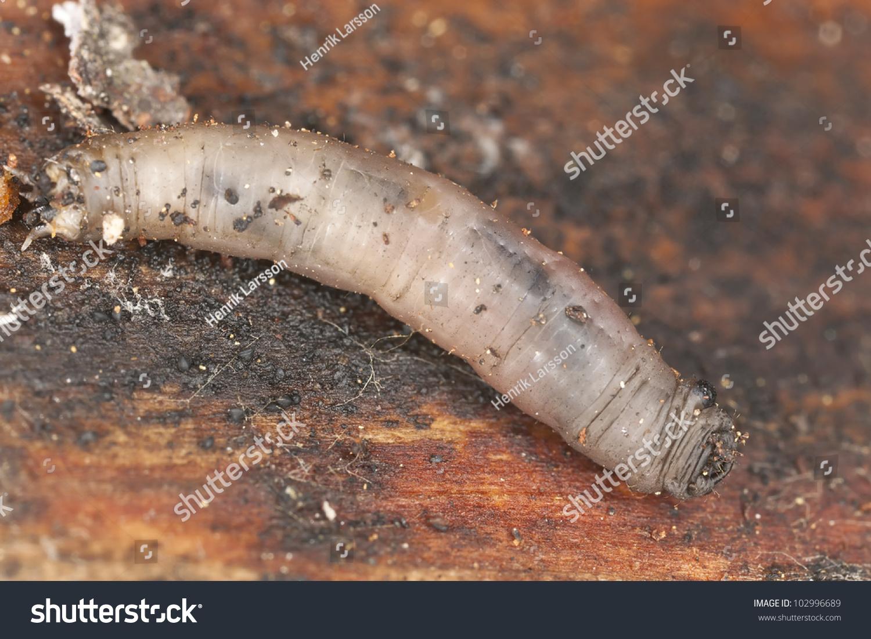 Leather jacket insect - Daddy Longlegs Larva Leatherjacket Tipulidae Diptera On Wood Macro Photo