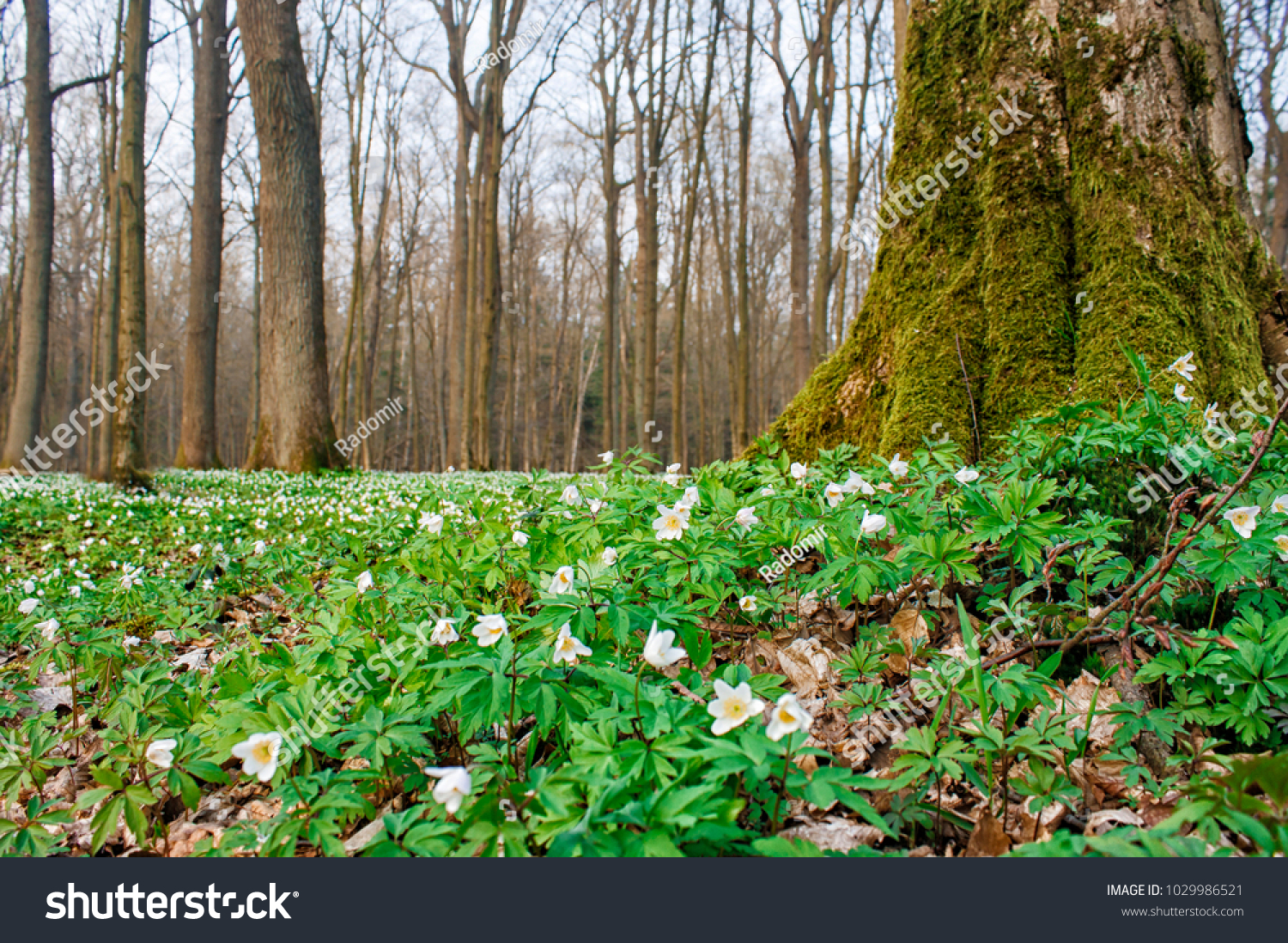 Beautiful Wild White Flowers Forest On Stock Photo Edit Now