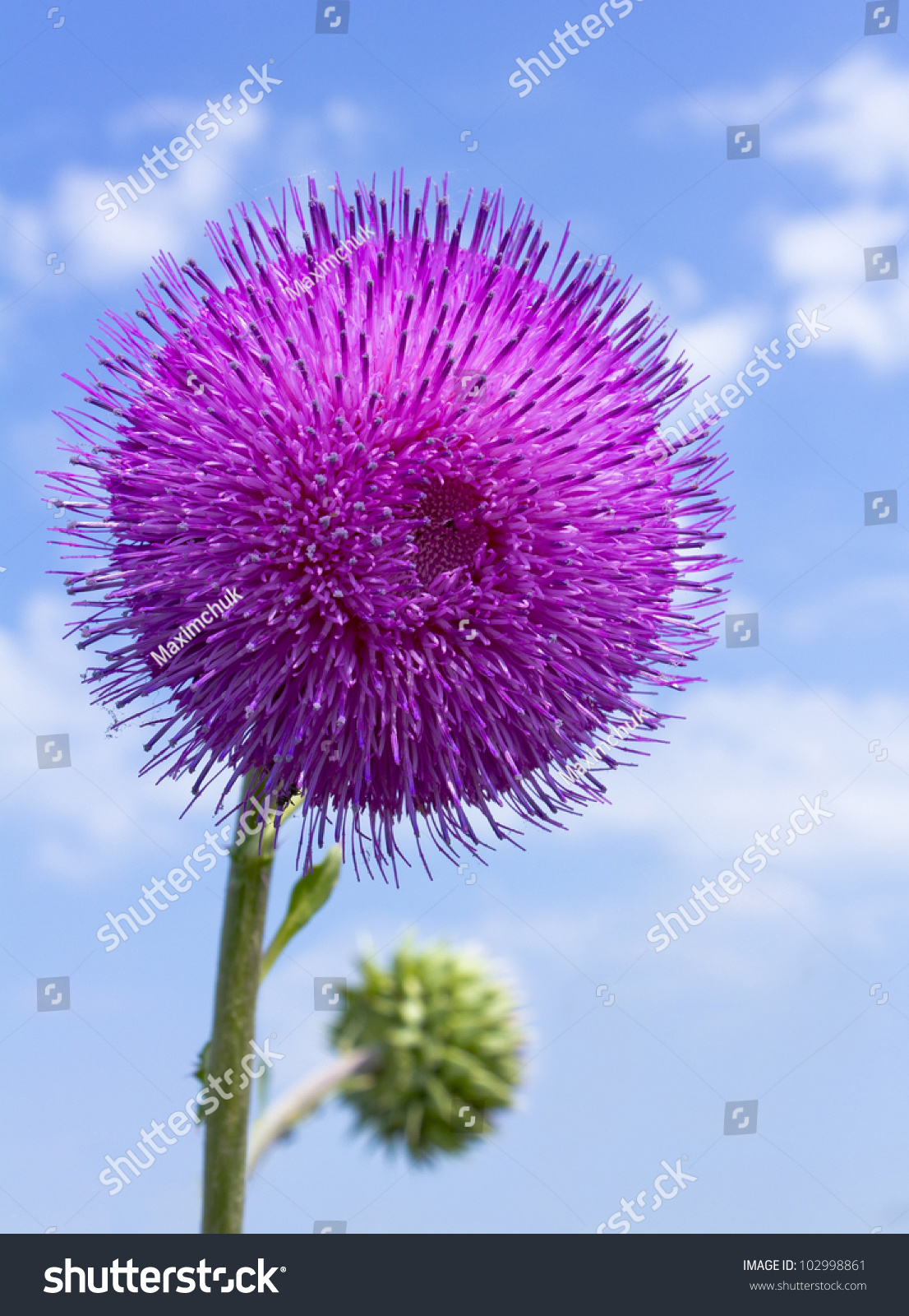 Alone steppe flower with the blue sky on the background stock photo