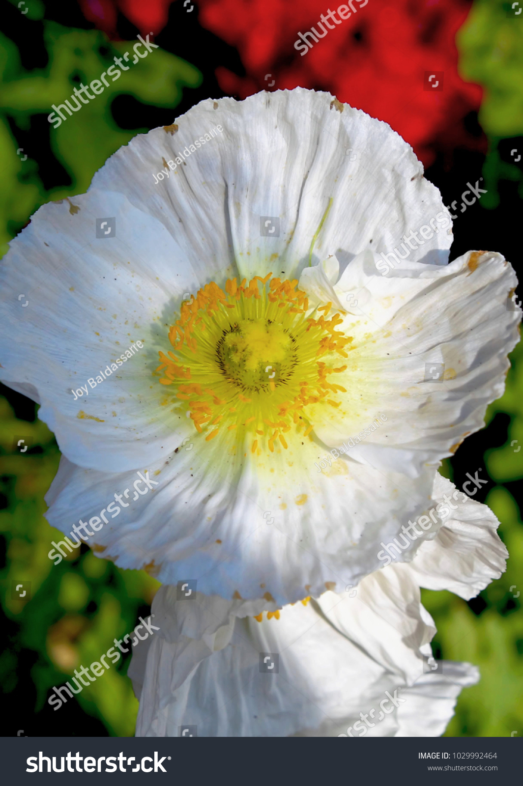 White And Yellow Anemone Flowers Ez Canvas