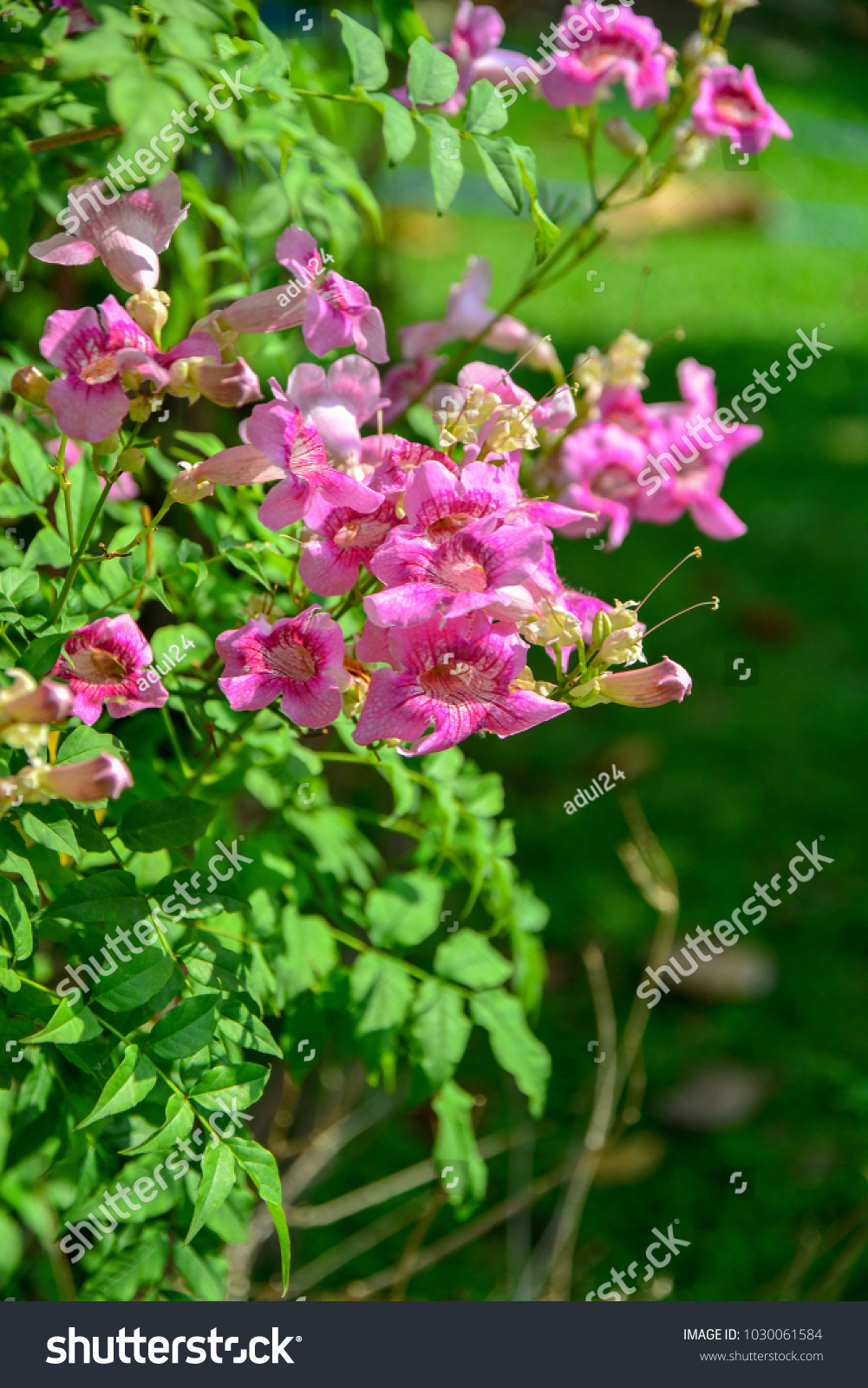 Trumpet Vine Flower Or Pink Podranea Ricasoliana Blooming In The
