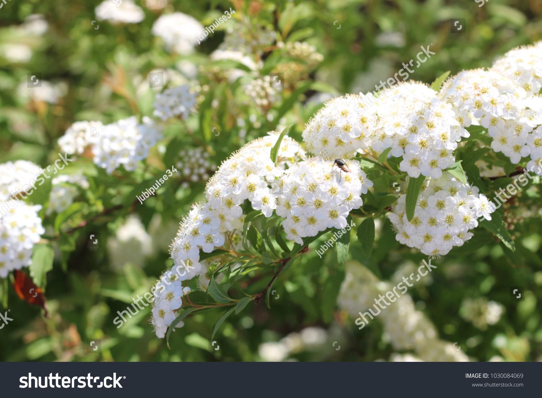 White Flower Spirea Stock Photo Edit Now 1030084069 Shutterstock