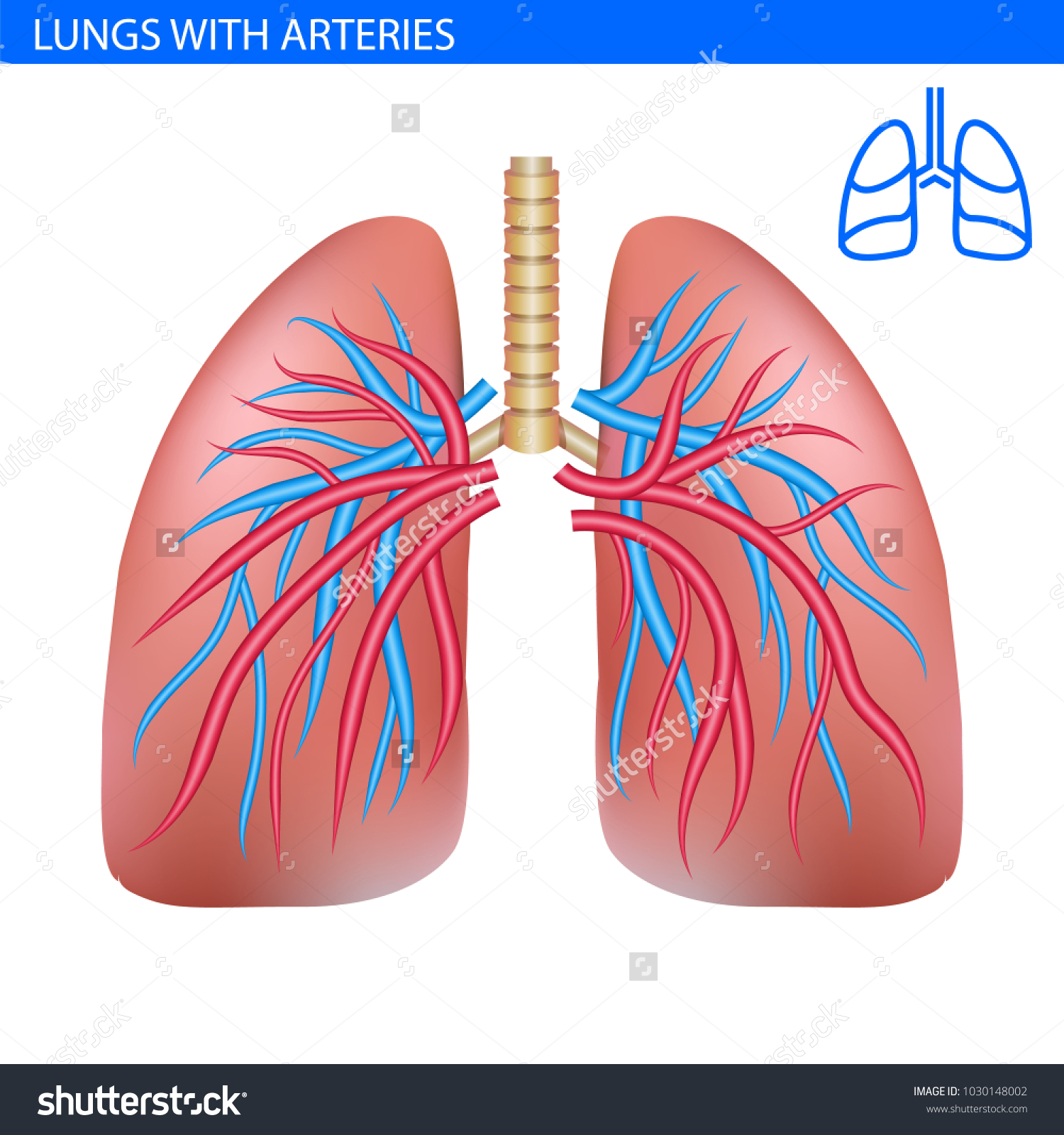 Human Lungs Anatomy Artery Circulatory System Stock Vector Royalty
