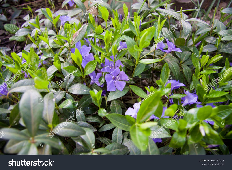 Blue flowers vinca minor common names stock photo edit now blue flowers vinca minor common names lesser periwinkle dwarf periwinkle small periwinkle izmirmasajfo