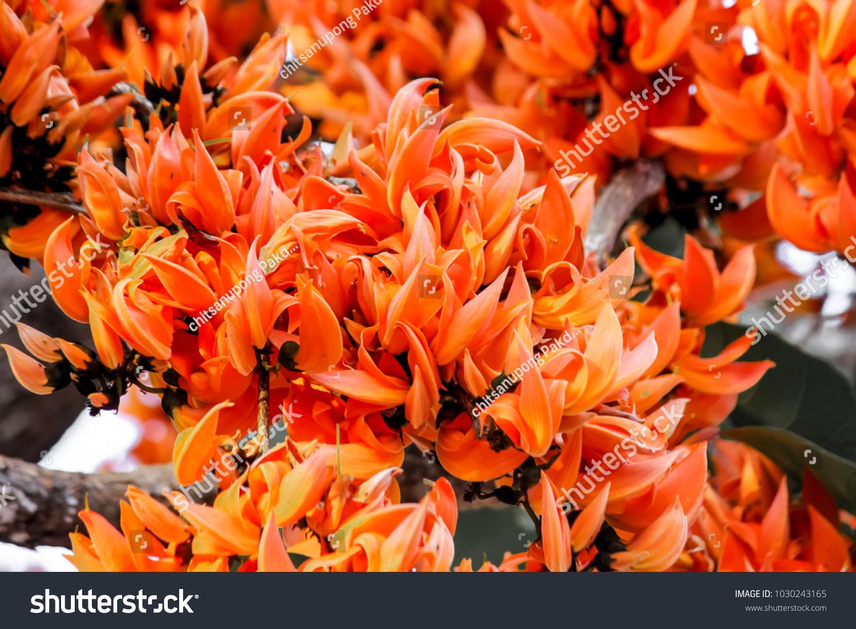 Beautiful fresh flower nature orange flowers blooming stock photo beautiful fresh flower in natureorange flowers blooming bastard teak butea monosperma on izmirmasajfo