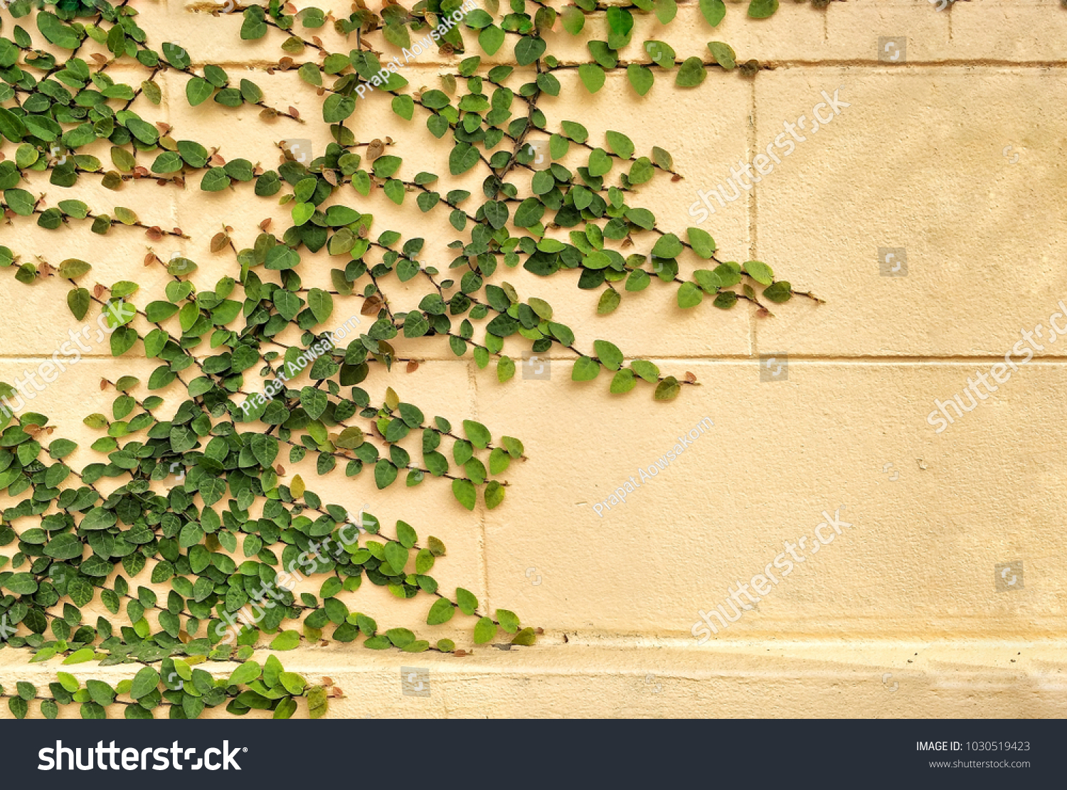 Creeper Plant Many Green Leaves Growing Stock Photo (Royalty Free ...