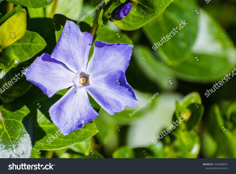Periwinkle Blue Flowers Vinca Major Blooming Stock Photo Edit Now
