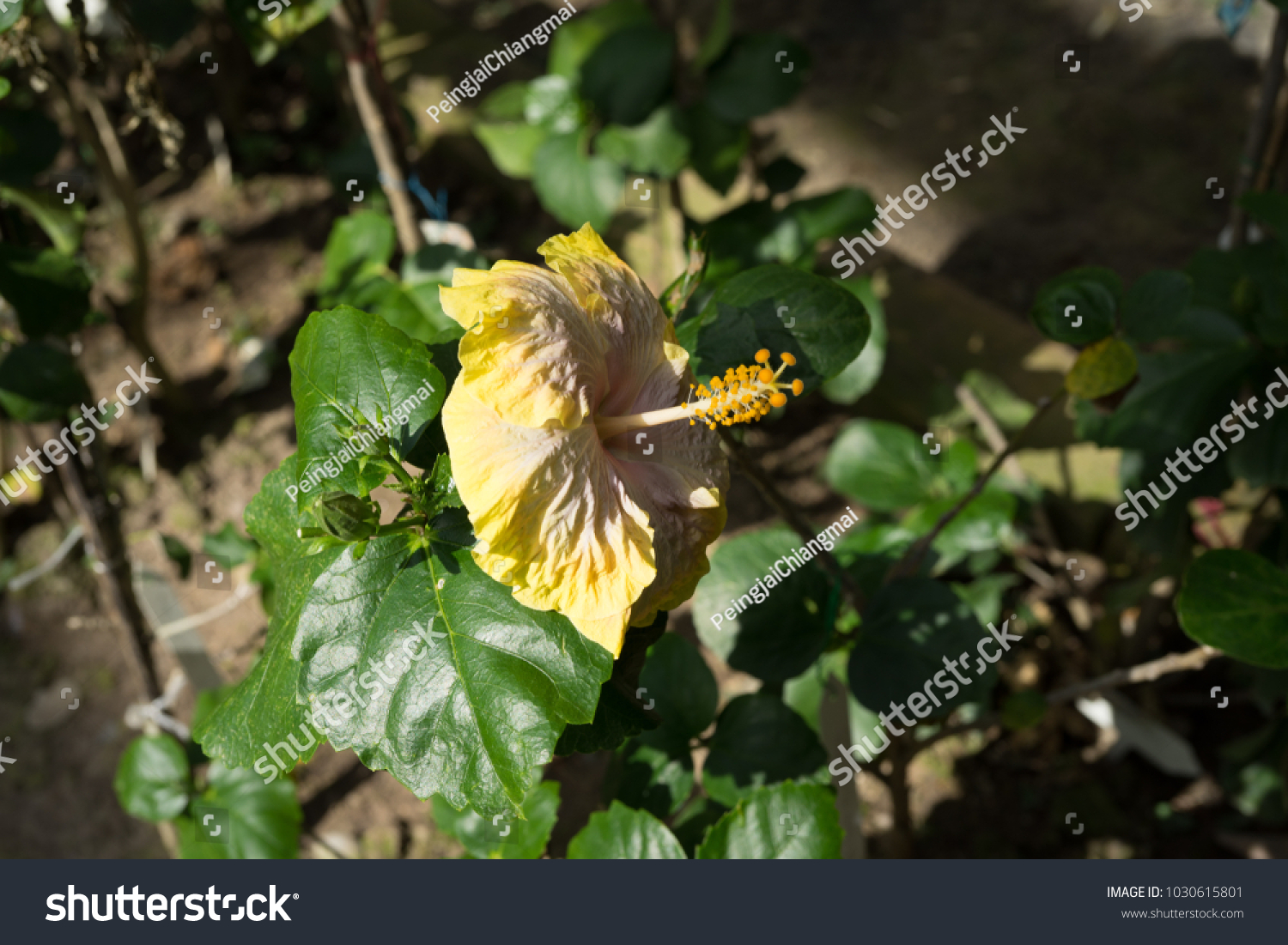 Hibiscus Rosasinensis L Chinese Rose Plants Stock Photo Edit Now