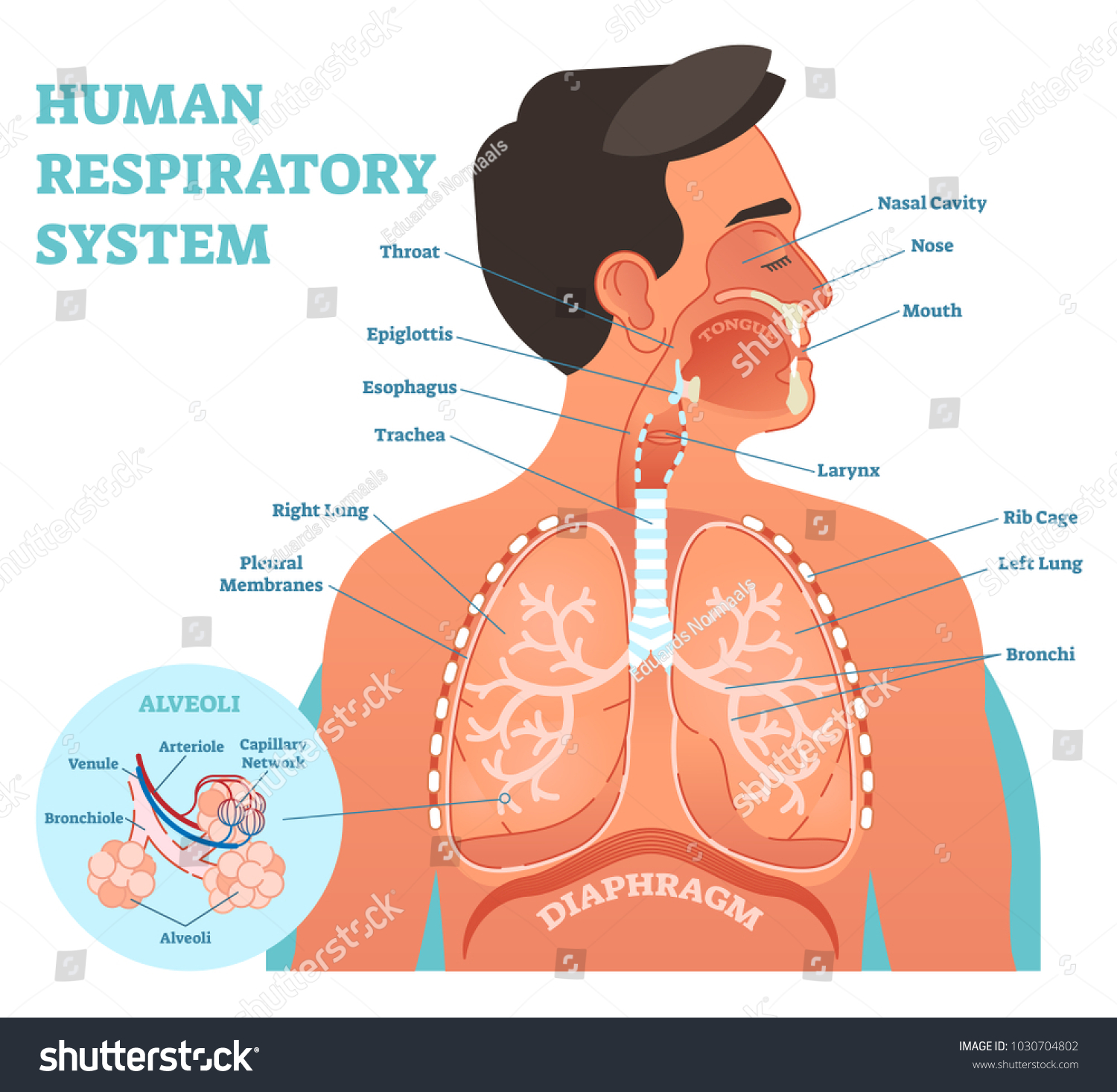 Human Respiratory System Anatomical Vector Illustration Stock Vector ...