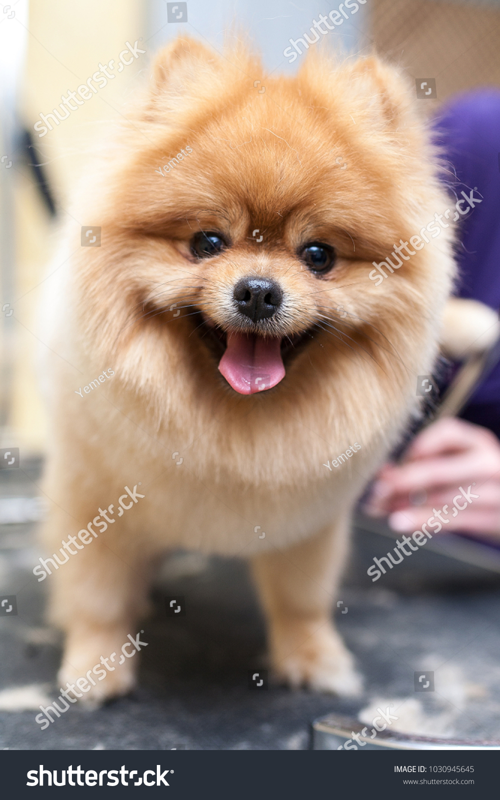 Grooming Pomeranian Dog By Professional Groomer Stock Photo Edit