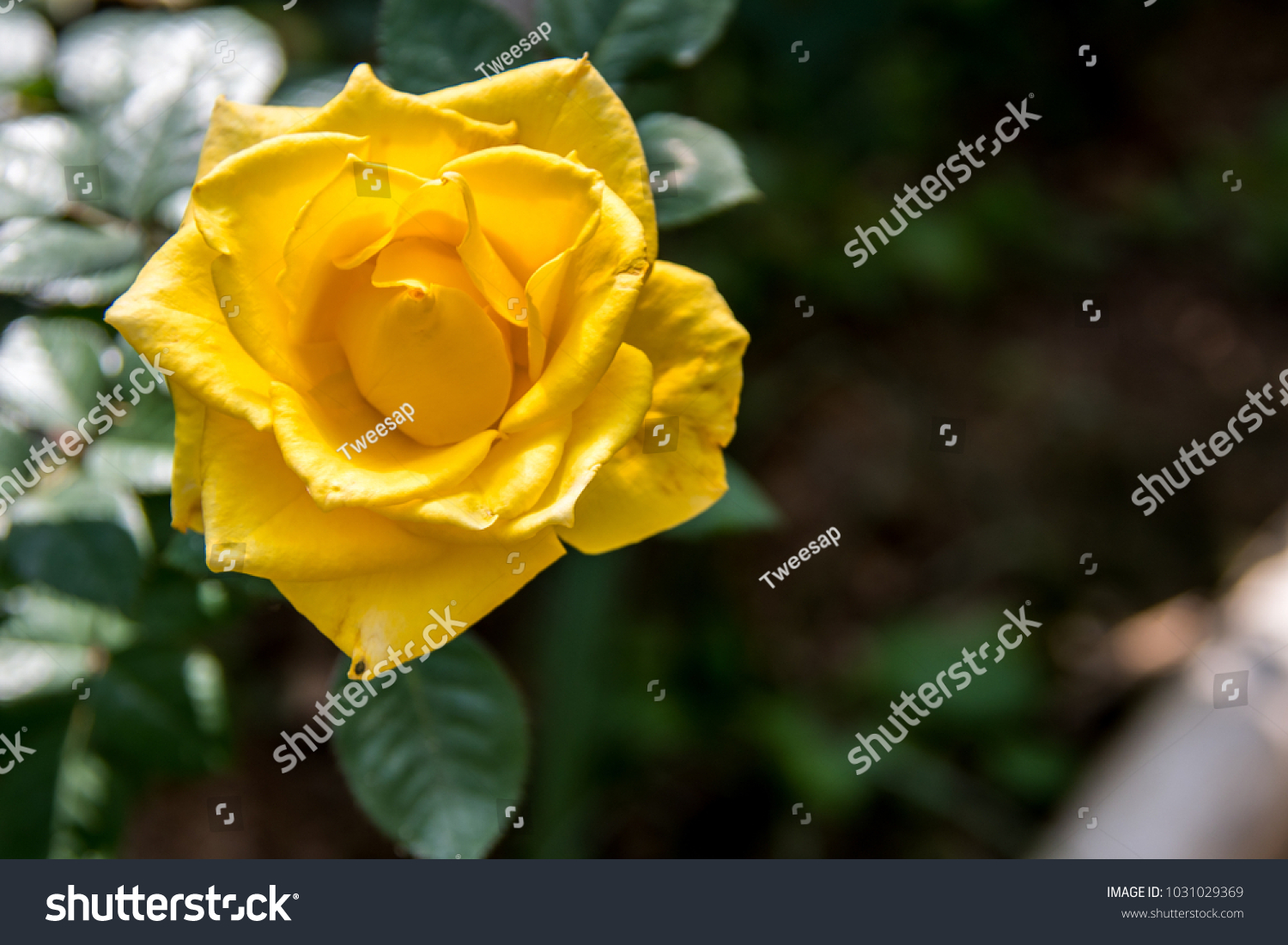 Beautiful yellow rose flower in a garden ez canvas id 1031029369 izmirmasajfo