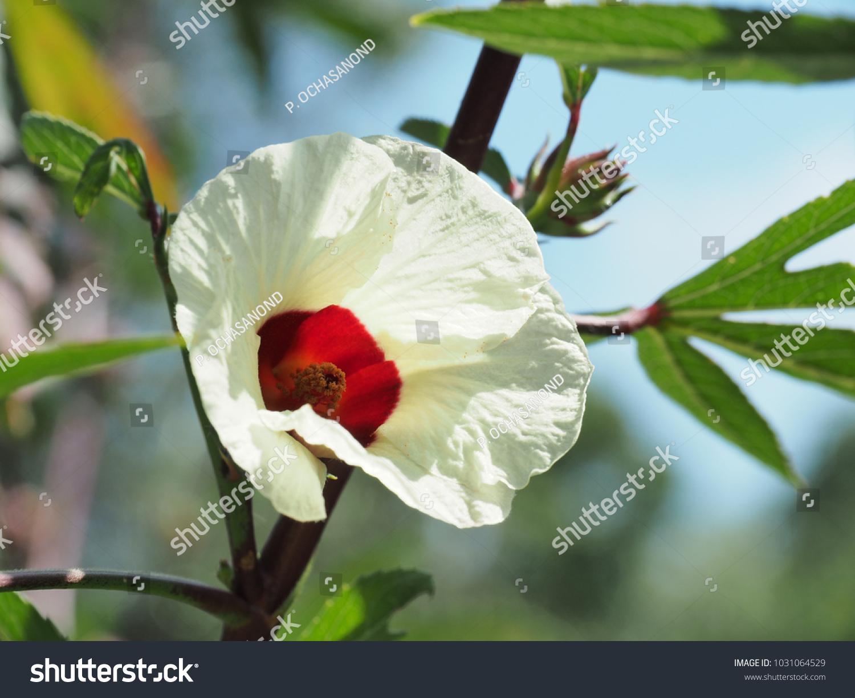 Hibiscus Sabdariffa Roselle Flower Nature Australia Stock Photo