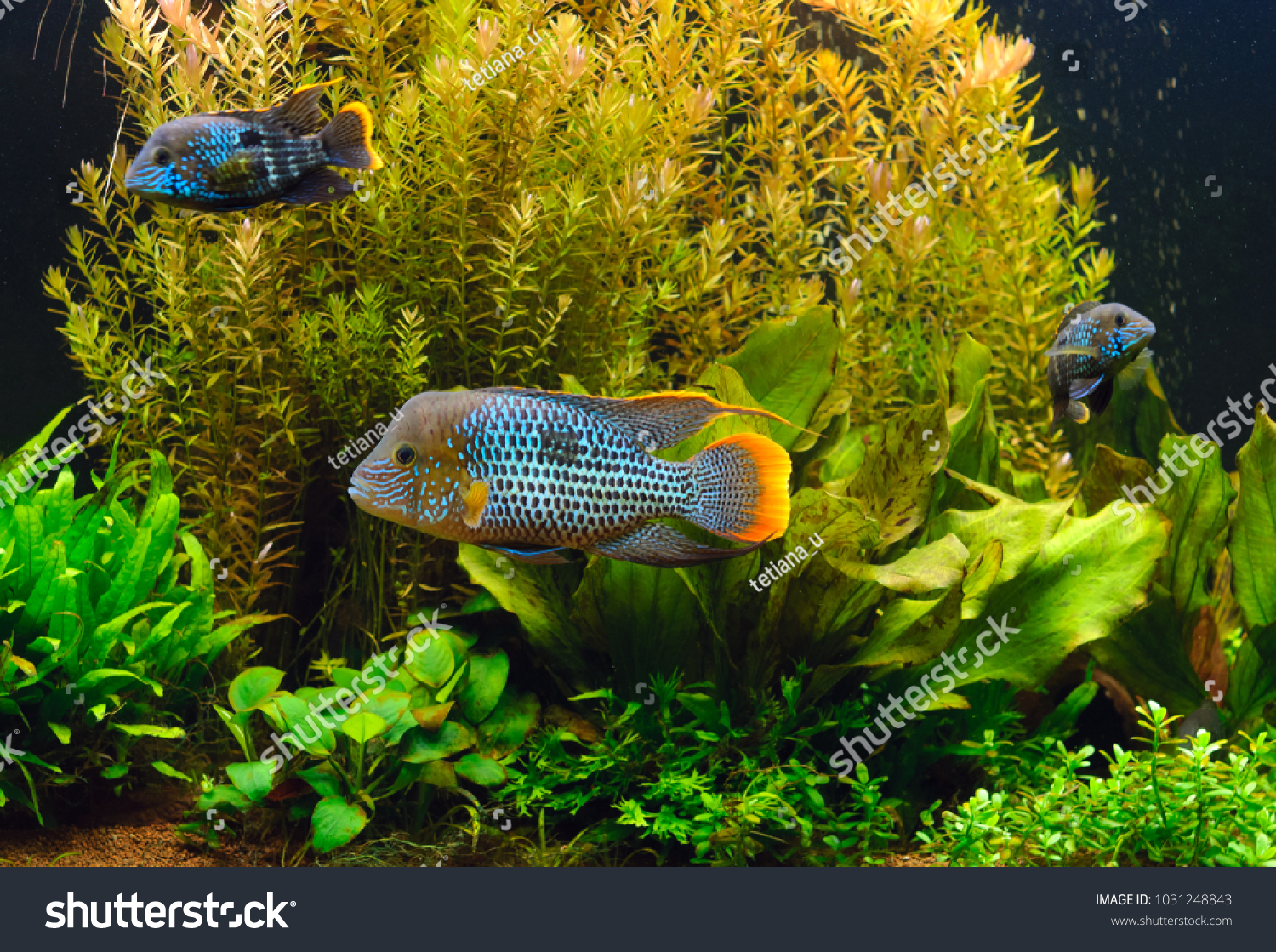 Planted Freshwater Aquarium Tropical Fishes Home Stock Photo Edit Thermometer Original For Aquascape With Pets