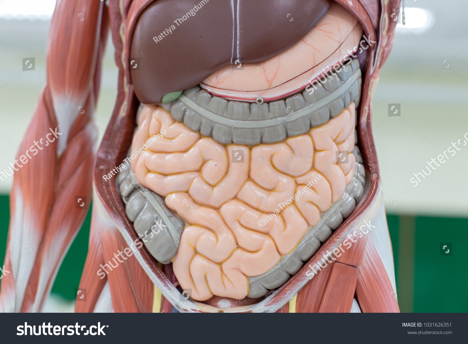 Study Human Organs Model Lab Stock Photo Edit Now 1031626351