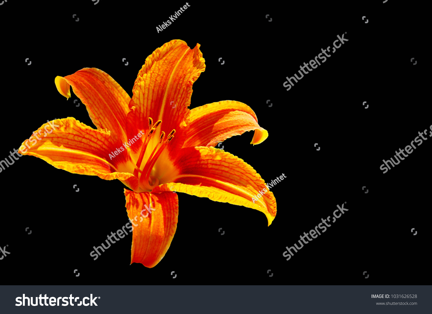 Bright Orange Lily Flower Isolated Black Stock Photo Edit Now