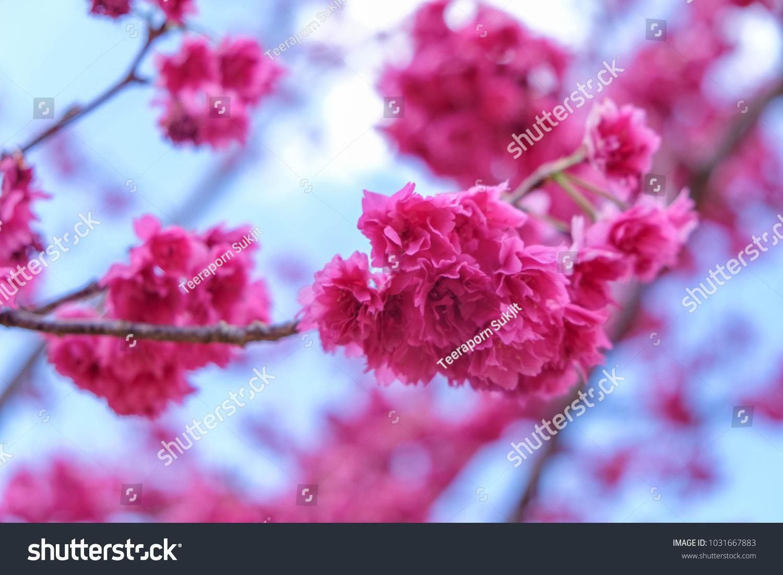 Pink Cherry Blossom Sakura Flower Spring Stock Photo Edit Now