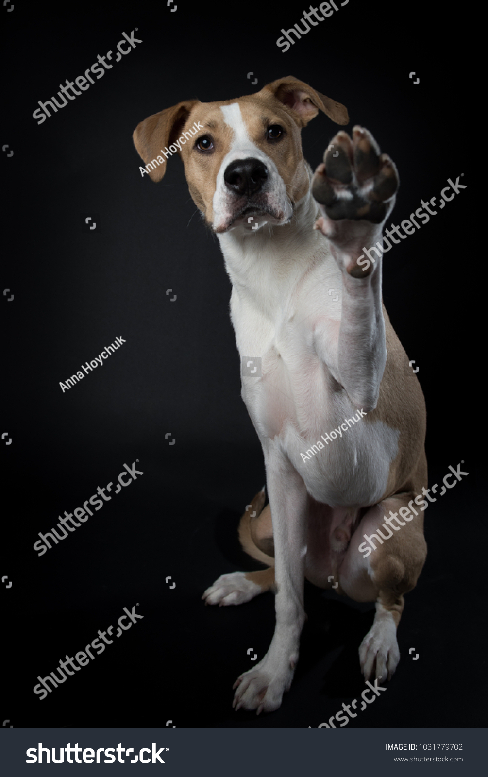 Young Mixed Breed Dog Tan White Stock Photo (Download Now ...