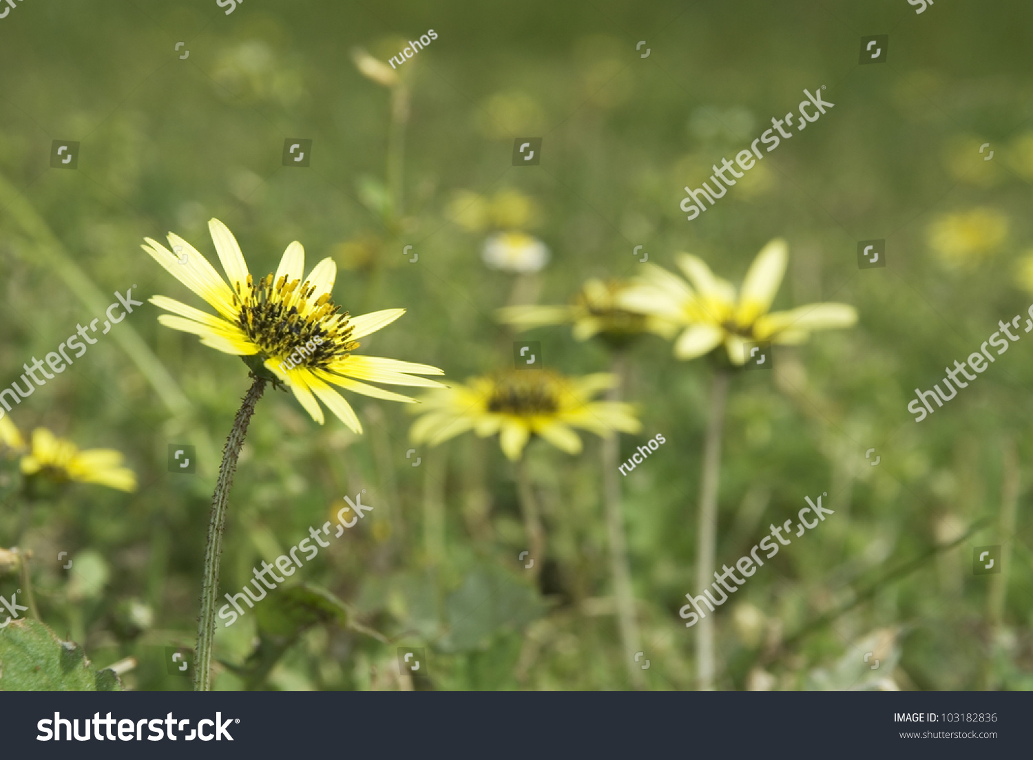 Yellow Flowers On Cape Weed Plant Stock Photo Edit Now 103182836
