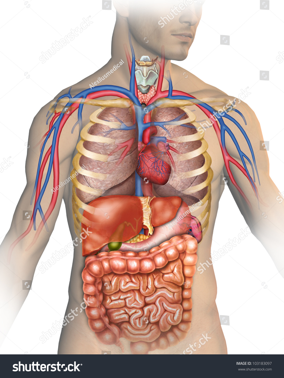human body stock illustration 103183097 - shutterstock, Muscles