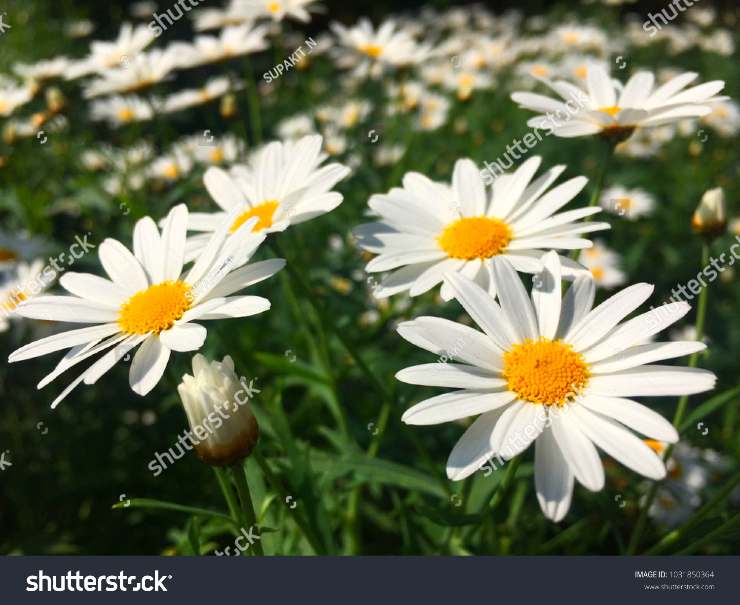White daisy flower meaning love eternity stock photo royalty free white daisy flower meaning love eternity izmirmasajfo