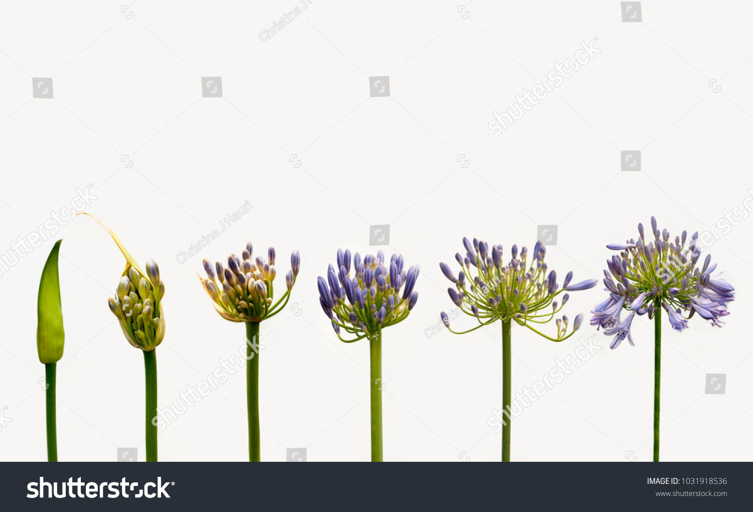 Agapanthus Lily Nile Stages Flower Stock Photo Edit Now 1031918536