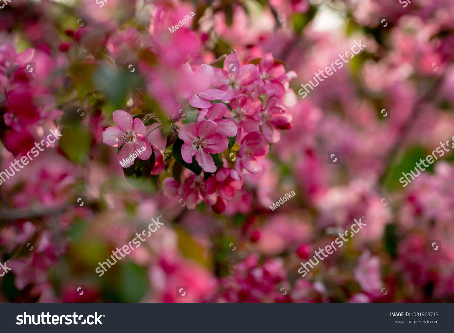 Close Up Of Blooming Apple Tree On Sunny Spring Day Beautiful